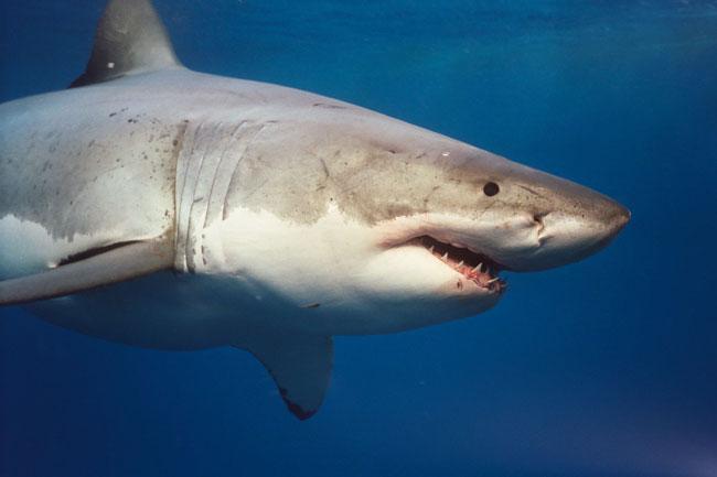 grande-squalo-bianco-11